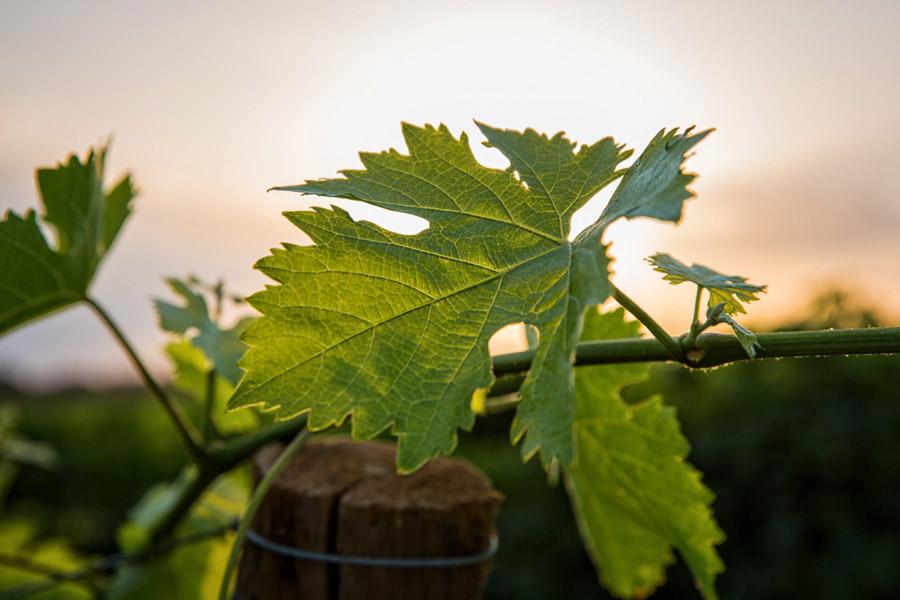 Feuille de vigne - Ardèche